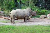 White rhinoceros 4