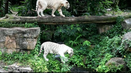 White tigers walking around