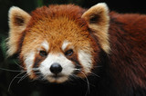 endangered red panda close up