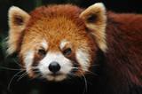 endangered red panda close up poster
