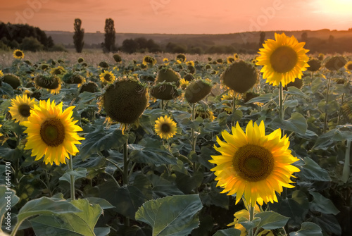 Sunflower field at the beautiful sunset