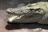 Australian Saltwater Crocodile poster