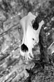 Skull of a predator poster