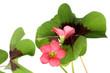 fleurs de trèfle à quatre feuilles