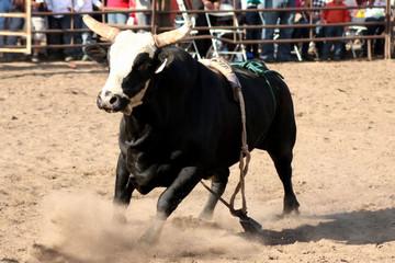 Taking No Bull