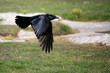 Black crow flying low over ground.