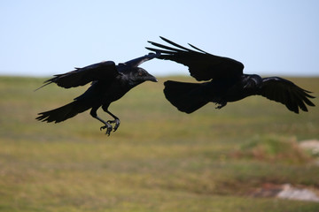 Two crows in flight together.