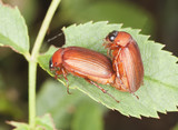 Mating brown chafer (Serica brunnea) Macro photo. poster
