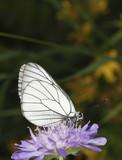 Black veined white (Aporia crataegi) poster