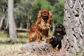 chien et chiot épagneul king charles près d'un grand arbre
