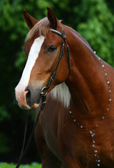 Dark chestnut horse with a light mane
