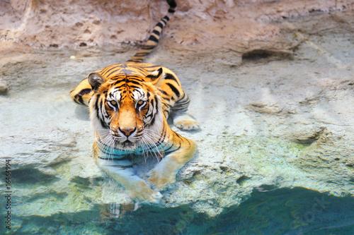 Obraz Tygrys bengalski w pobliżu wody