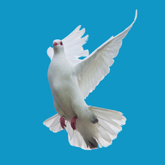 white dove flying isolated