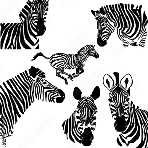 czarno-biały portret zebry