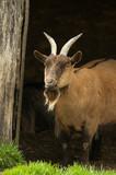 billy goat under farmyard shelter poster