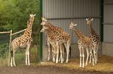small herd of giraffes under shelter poster