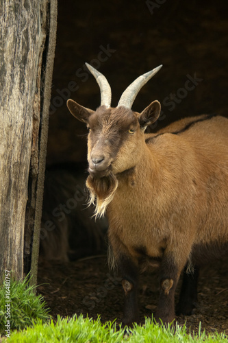 billy goat under farmyard shelter