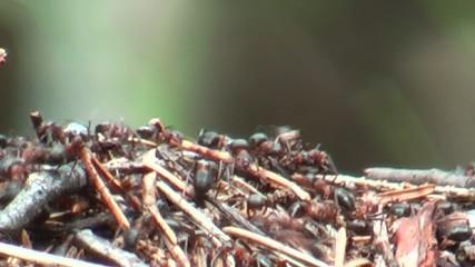 Formiche lavoratrici