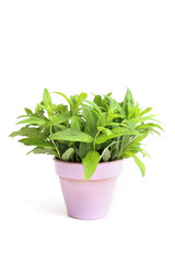 Pot with fresh mint plant isolated on white background