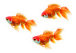 Three isolated goldfish