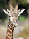 reticulated giraffe male juvenile licks nose with tongue poster