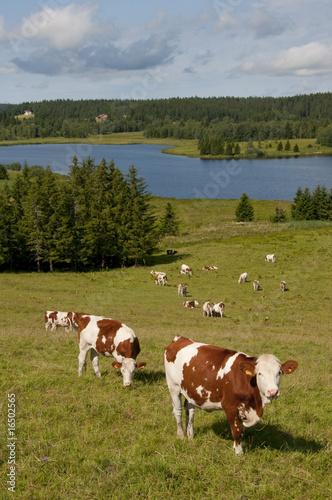 Papiers peints Vache Vache montbéliarde et sa clarine dans le jura.