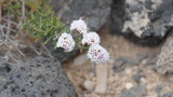Flower in the lava field on Fuerteventura