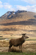 Red deer in front of a mountain in Scotland