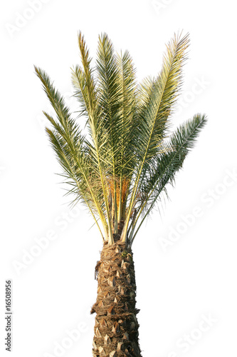 young palm tree, isolated