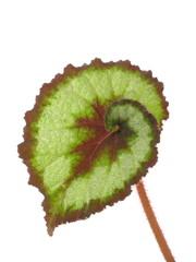 Begonia X rex-cultorum