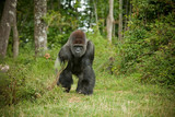 Fototapety Gorille
