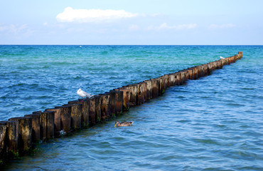 seagull and mullard duck on groynes in the baltic sea