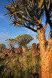 Quiver trees (Aloe dichotoma), Namibia, southern Africa