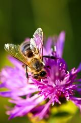 Honey bee on Knapweed