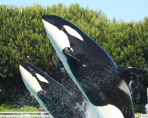 A Mother Orca and Her Calf Breach Together