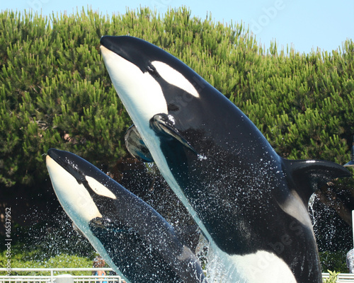 Fotobehang Dolfijn A Mother Orca and Her Calf Breach Together