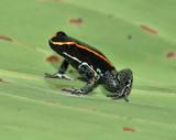 dangerous golfo dulce poison dart frog on leaf,costa rica poster