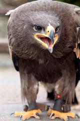 Aggressiver Seeadler