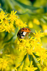 Asian Ladybug Beetle (Harmonia axyridis)