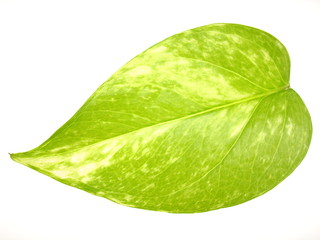 A leaf of Pothos