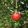 Pomme suspendue au bout d'un rameau.