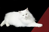 Longhaired tomcat poster