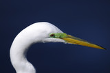 ardea alba, great egret poster