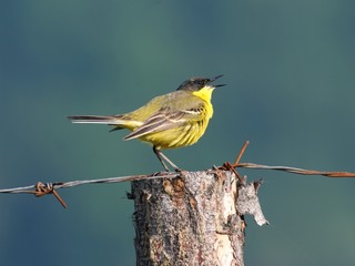 yellow wagtail perched on a log