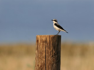 Wheatear perched on a log against blue sky