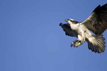 Osprey with Fresh Fish