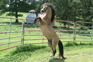 Buckskin Stallion Rearing up