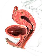 Gebärmutter - Querschnitt