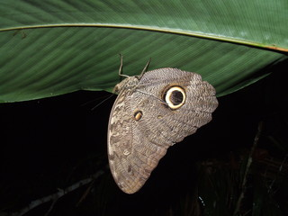 Butterflie (Insecta: Lepidoptera)