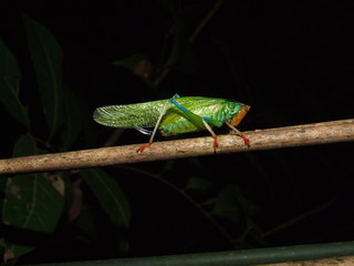 Grasshopper (Insecta: Orthoptera)